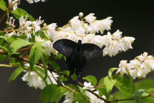 Karasuageha110