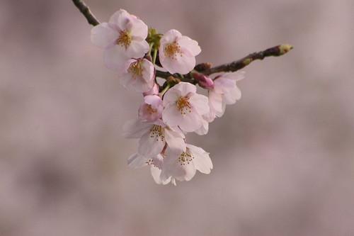 Sakura1112_3
