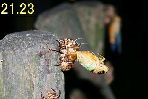 Kumazemi13121