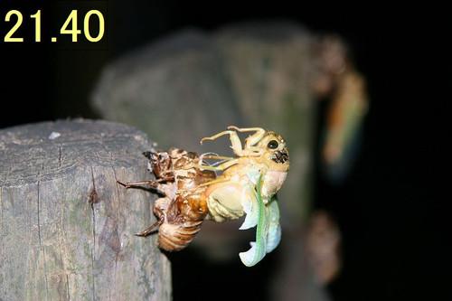 Kumazemi14121
