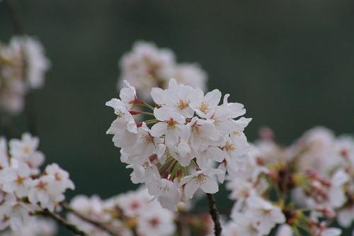 Sakura1113_2