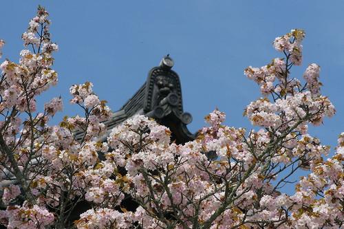 Naranoyaezakura1313_2