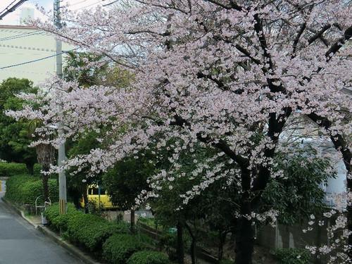 Sakura1114