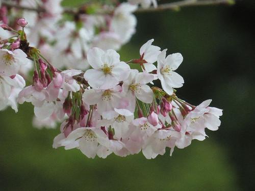 Sakura41117