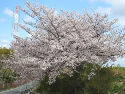Sakura41119