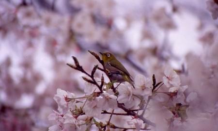 Sakuramejiro