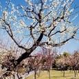 白梅の咲く頃