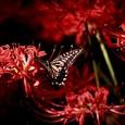 彼岸花にアゲハチョウ