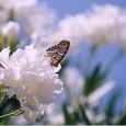 白い夾竹桃とツマグロヒョウモン