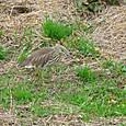 アカガシラサギ冬羽