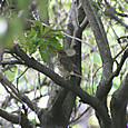 クロツグミ♀