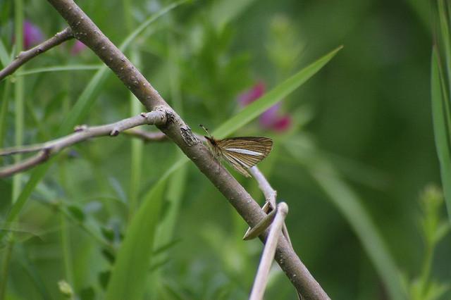 ギンイチモンジセセリ 春型